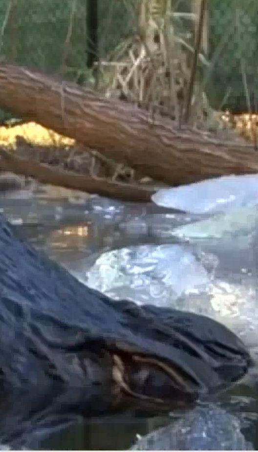 У Північній Кароліні зафільмували, як крокодили виживають за мінусової температури