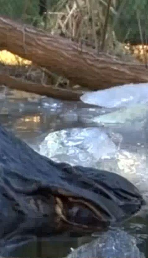 В Северной Каролине сняли, как крокодилы выживают при минусовой температуре