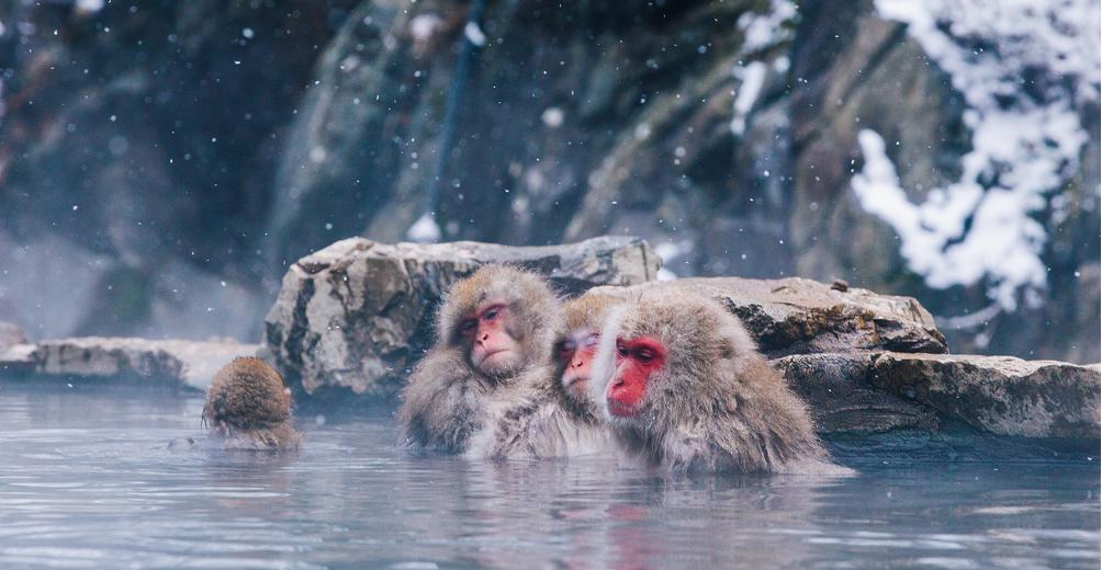 Наґано, Японія - макаки купаються в гарячих джерелах