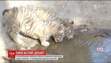 В Китайском зоопарке посетителям впервые показали редких белых тигрят
