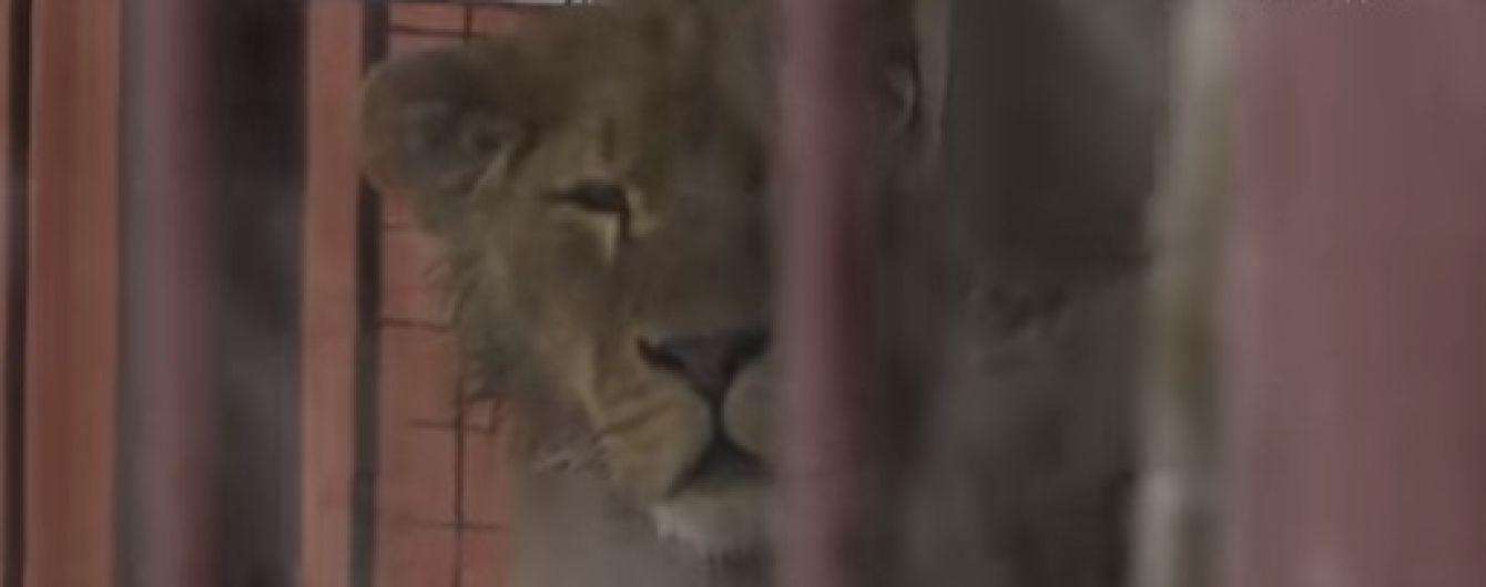 В селе под Киевом в частном дворе в ужасных условиях держат льва