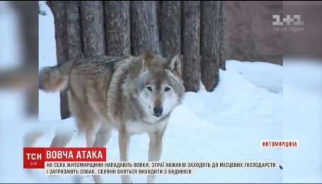 В Житомирской области волки заходят в деревни в поисках наживы и загрызают собак