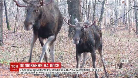 На Киевщине браконьеры застрелили беременную самку лося