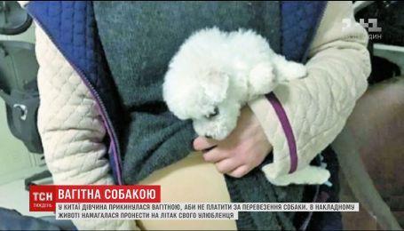 В Китае девушка спрятала в накладной живот собаку, чтобы сэкономить на трансфере в аэропорту
