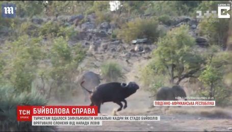 В Южной Африке туристы сняли спасение слоненка стадом буйволов