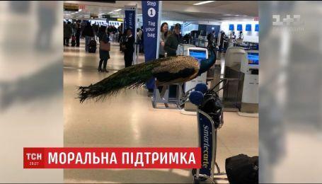 Американка пыталась пронести павлина на борт самолета, чтобы запастись эмоциональной поддержкой