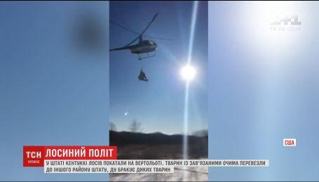 В США придумали необычный способ переправки лосей на вертолетах