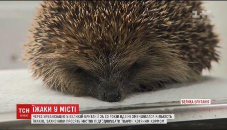 В Британии зоозащитники призывают людей заботиться о ежах