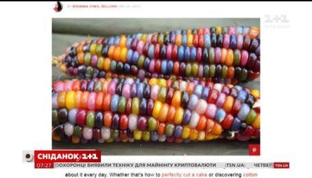 Веселковий овоч: в Америці вивели різнокольорову кукурудзу