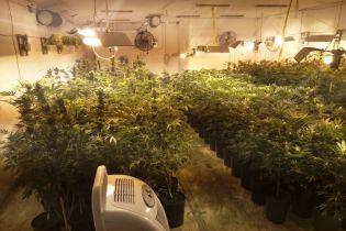 """На Киевщине СБУ """"накрыла"""" огромную плантацию марихуаны: изъято 500 кустов и 200 саженцев"""