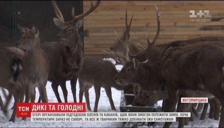 На Житомирщині в лісогосподарстві єгері показали, як доглядають диких тварин взимку