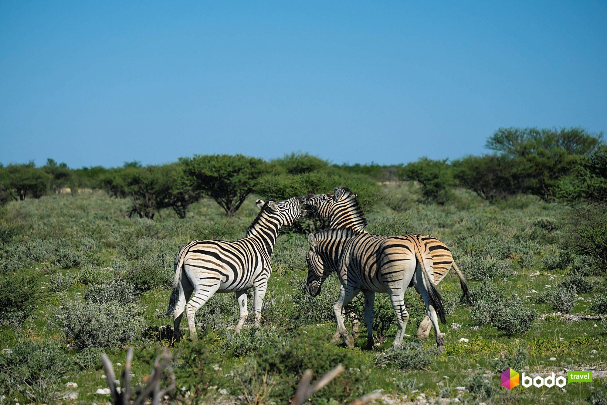 намібія зебри