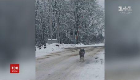 Село на Тернопольщине напугал волк, который разгуливал по улицам и прыгал женщинам на плечи