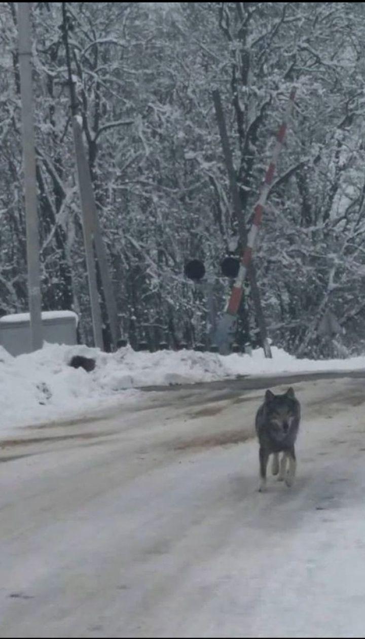 Село на Тернопільщині нажахав вовк, який розгулював вулицями та стрибав жінкам на плечі