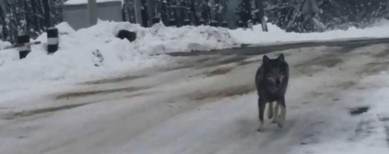 На Тернопольщине по селу гулял волк и прыгал на прохожих