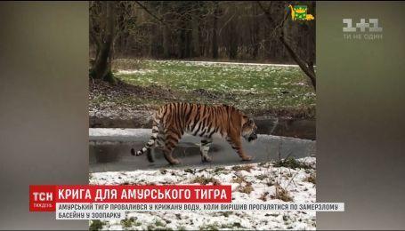 Амурский тигр провалился под лед, когда гулял по тонкому льду бассейна