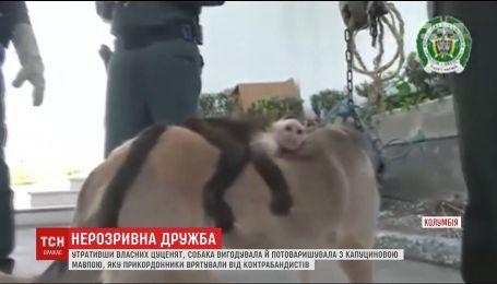 У Колумбії собака вигодувала й потоваришувала із капуциновою мавпою