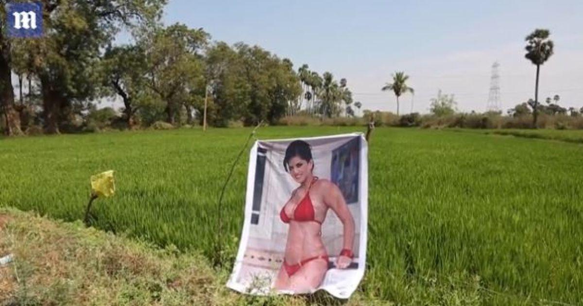 Индийский фермер выставил посреди поля фото порнозвезды, чтобы уберечь свой урожай