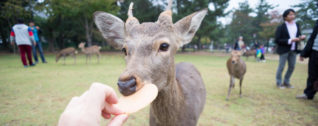 """Девять """"священных"""" оленей из известного парка Нара в Японии погибли. Их желудки были полны пластика"""