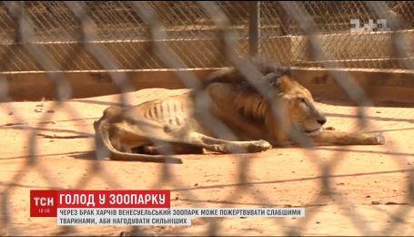 Из-за нехватки продовольствия в зоопарке Венесуэлы львам и тиграм могут скормить слабых животных