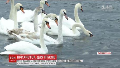 Сотни птиц вынуждены зимовать на водохранилище Хмельницкой атомной электростанции