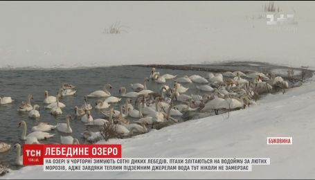 Сотні диких лебедів зимують на озері у Чорториї, де вода ніколи не замерзає