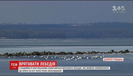 Около сотни лебедей оказались в ледяной ловушке на водоеме в Днепропетровской области