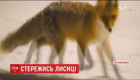 На Житомирщине бешеные лисы атакуют людей
