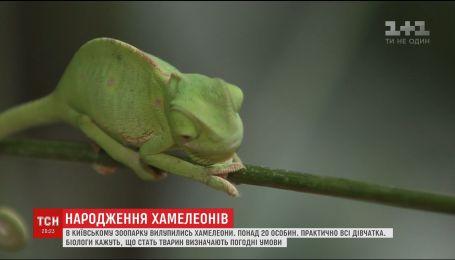 В Киевском зоопарке родились хамелеоны