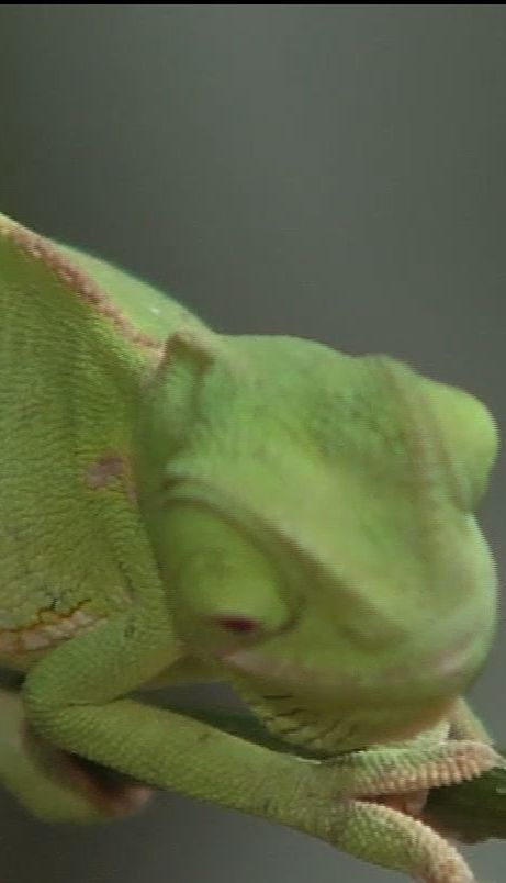 У Київському зоопарку народилися хамелеони