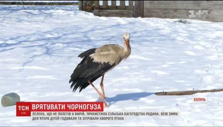 На Волыни аист остался зимовать в сельской семье