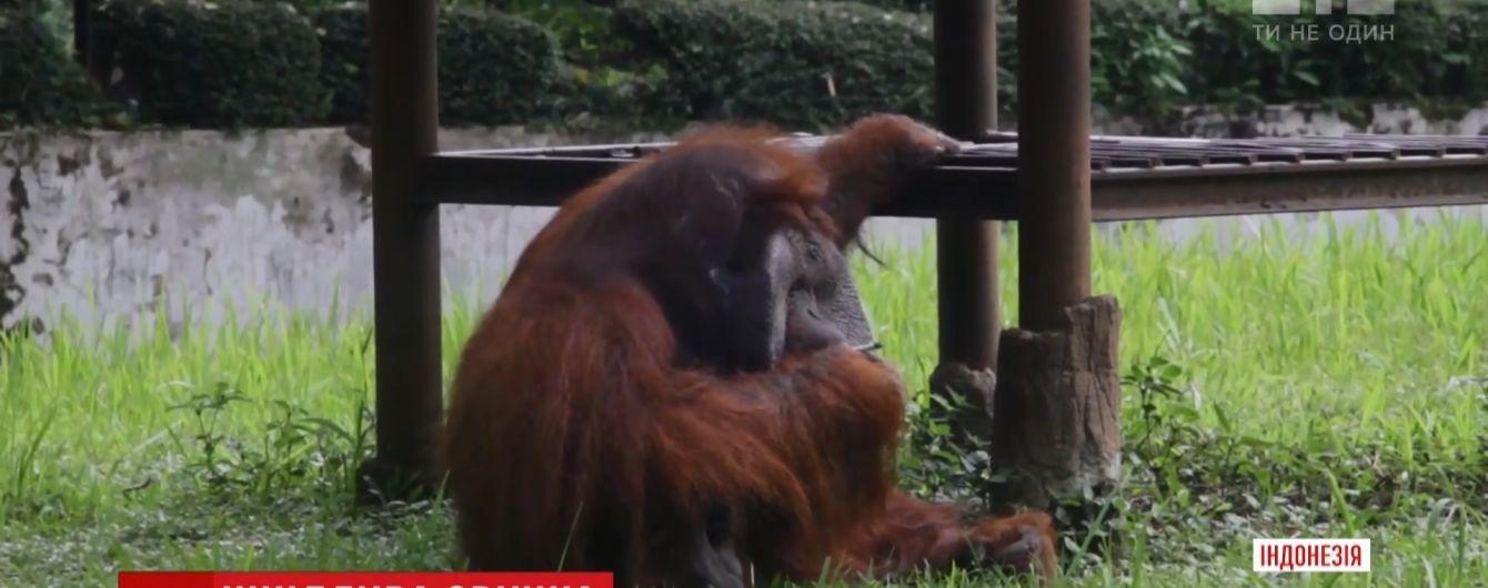 В Индонезии разгорелся скандал из-за орангутанга с вредной привычкой