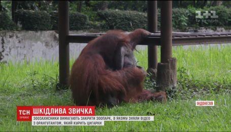 В Индонезии скандал подняло видео, на котором орангутанг курит сигарету в зоопарке