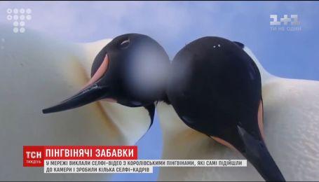 В Сети появилось селф-видео с королевскими пингвинами