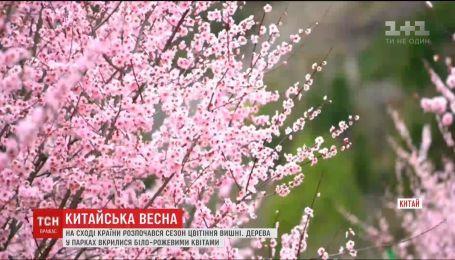 На востоке Китая начался сезон цветения вишни