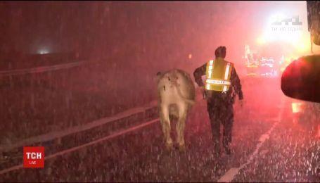 Десяток коров часами бродили по трассе на подъезде в Нью-Йорк