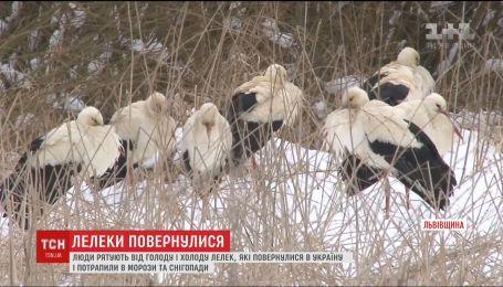 Небайдужі рятують від холоду та голоду лелек, що повернулися в Україну