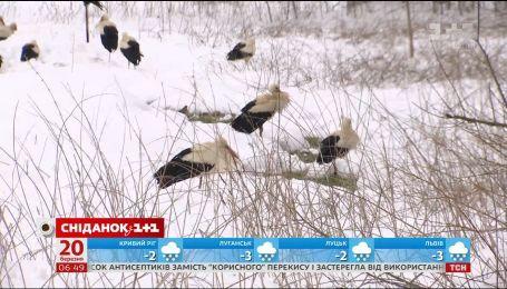 Смертельное возвращение: каждый второй аист может погибнуть из-за морозов