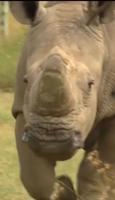 В Африке умер последний белый носорог