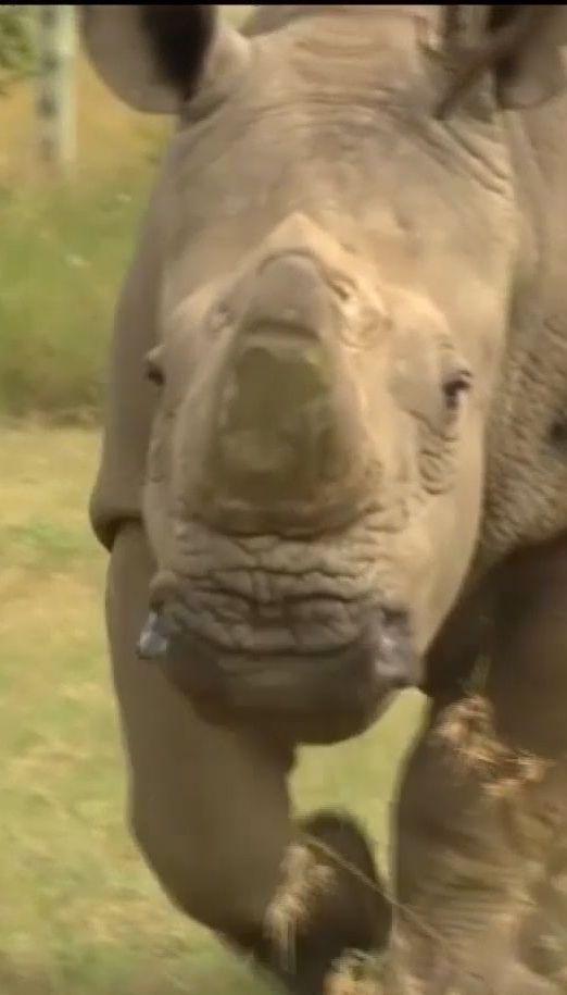 В Африці помер останній білий носоріг