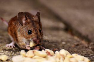 В садике на Прикарпатье детей кормили мукой и крупами с фекалиями мышей