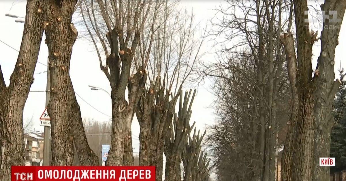 Олівці замість дерев: хто і чому чикрижить київські каштани і тополі