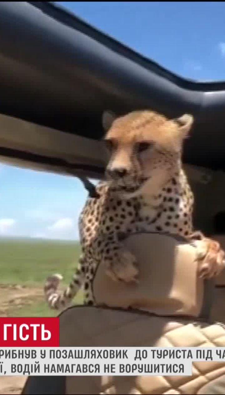 В Танзании к туристам в авто запрыгнул гепард