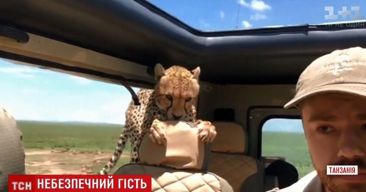 В Танзании гепард запрыгнул в джип к туристу во время сафари