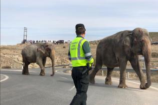 Слонов поднимали краном после аварии циркового грузовика в Испании. Появилось видео