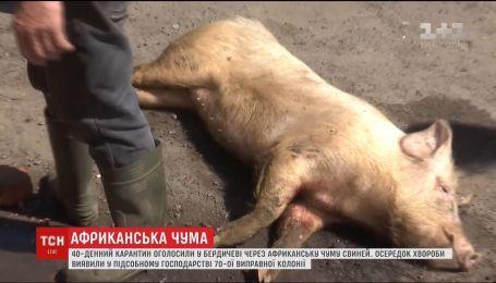 На Житомирщині виявили спалах африканської чуми