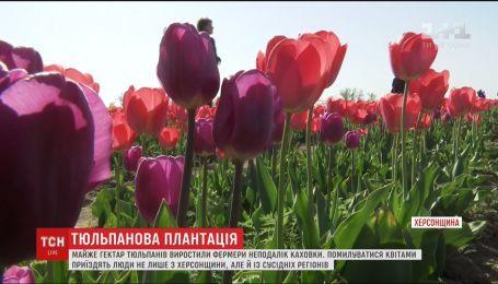 Триста тысяч тюльпанов зацвели на Херсонщине