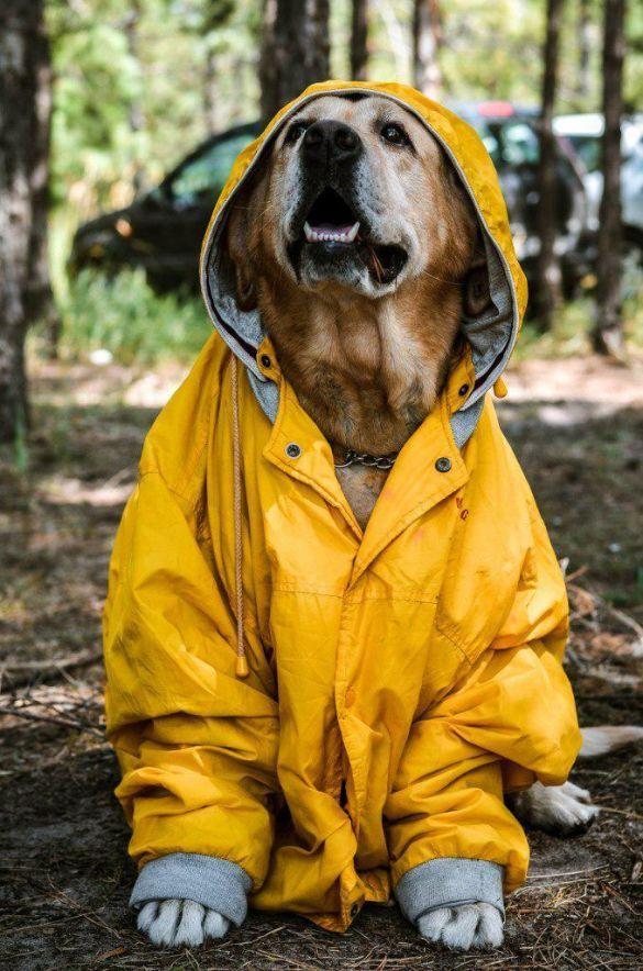 Лабрадор Фоки Бас, собака