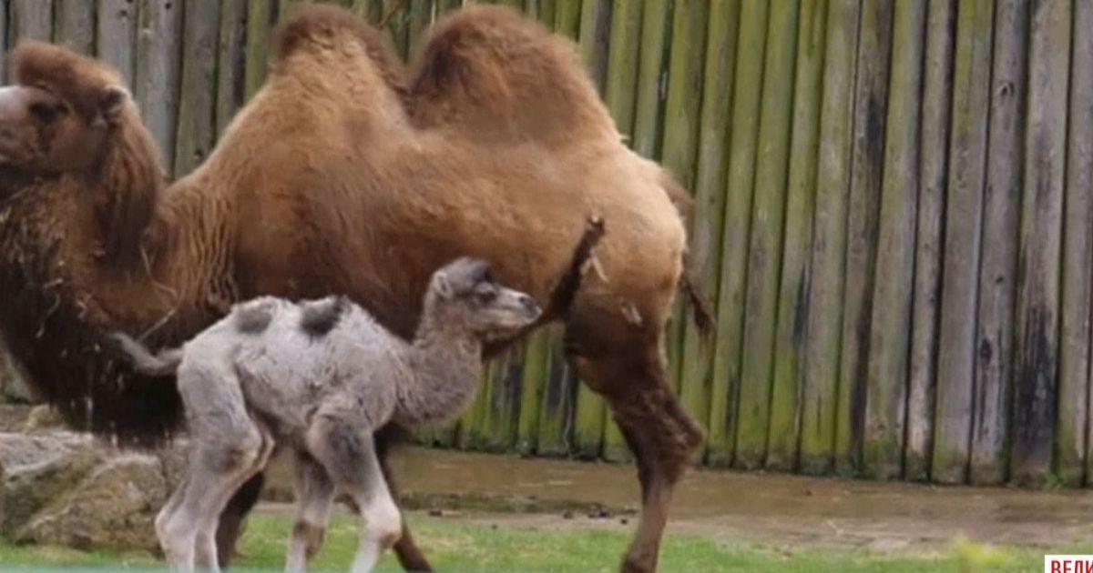 Викапаний тато: у Одесі у пари двогорбих верблюдів народилося дитинча