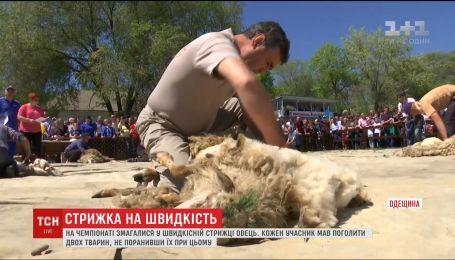 В Одесской области три десятка участников чемпионата стригли овец на скорость